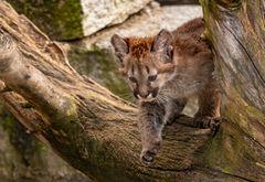 Puma der Schleicher