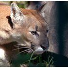 Puma on silent paws....