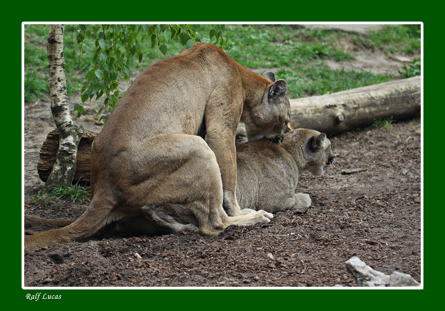 Pumapaarung