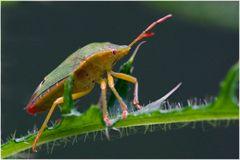 Punaise Acanthosoma haemorrhoïdale (2)