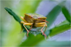 Punaise Acanthosoma haemorrhoïdale