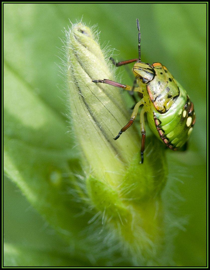 Punaise verte à un stade larvaire (2)