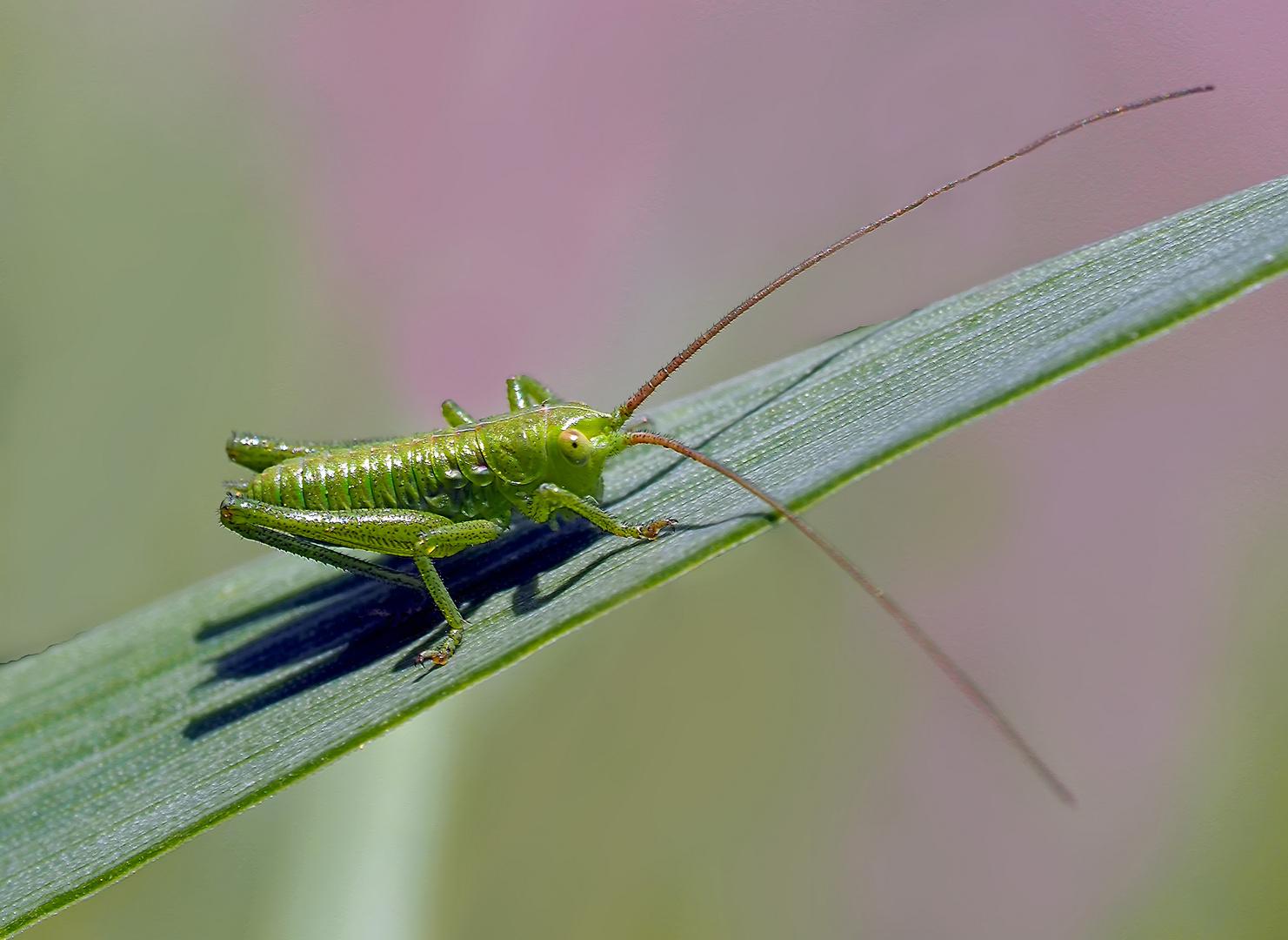 Punktierte Zartschrecke (Leptophyes punctatissima). - Dès qu'on l'approche, elle saute!