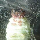 pupa de mariposa en capullo