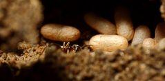 Puppenkokons schwarzgrauer(?) Ameisen