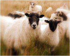 Pure new wool - Reine Schurwolle