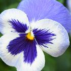 Purple and White