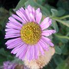 Purple flower. (Original I know!)