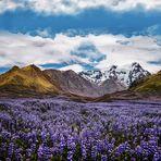 Purple Lupine Blóm