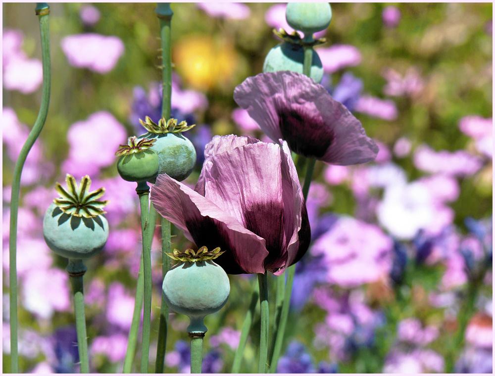 purple poppy flower photo image plants fungi lichens flowers