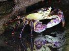 Purple Rock Crab