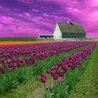 purple tulips with farm-2