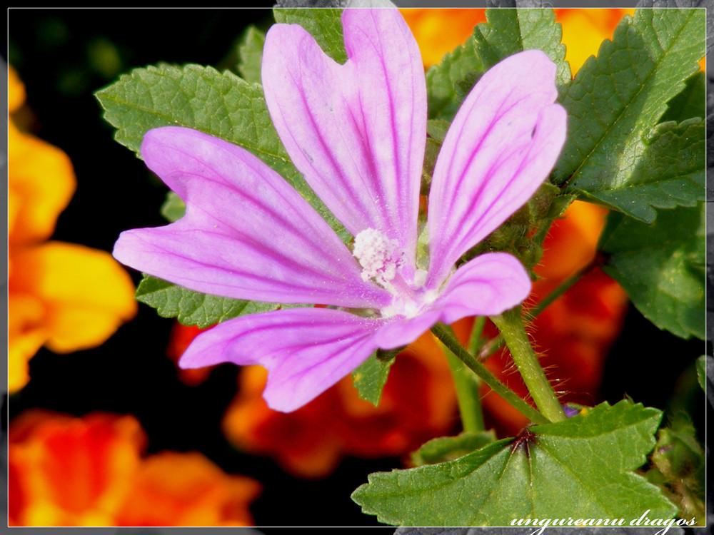 purpleorange