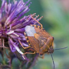 purpur Baumwanze (Carpocoris purpureipennis)