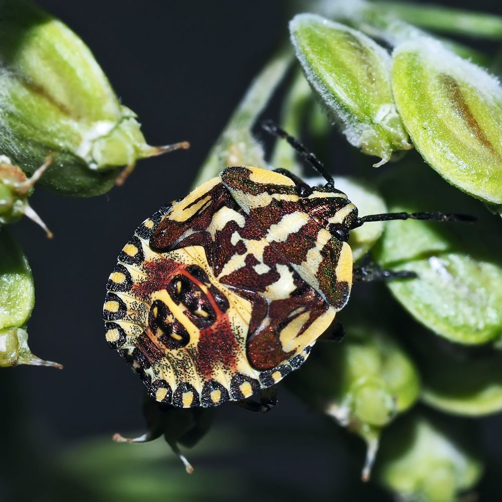 Purpur-Fruchtwanze (Carpocoris purpureipennis): Ne kleine Wanze, die Farben und Formen liebt …