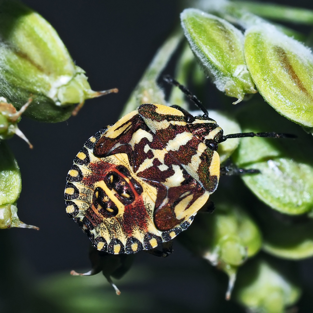 Purpur-Fruchtwanze (Carpocoris purpureipennis): Ne kleine Wanze, die ...