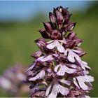 Purpur-Knabenkraut Blütenstand