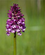 Purpur-Knabenkraut (Orchis purpurea).....