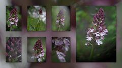 Purpur-Knabenkraut - Orchis purpurea
