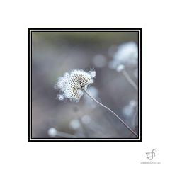 Puschelblüte...........