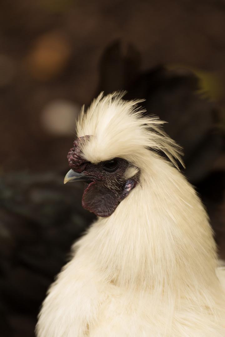 Puschelhuhn Foto & Bild | natur, zoo, tiere Bilder auf