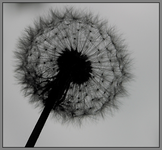 Pusteblume * Foto & Bild   pflanzen, pilze & flechten, blüten ...