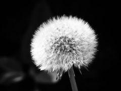 Pusteblume Dandelion in Monochrome