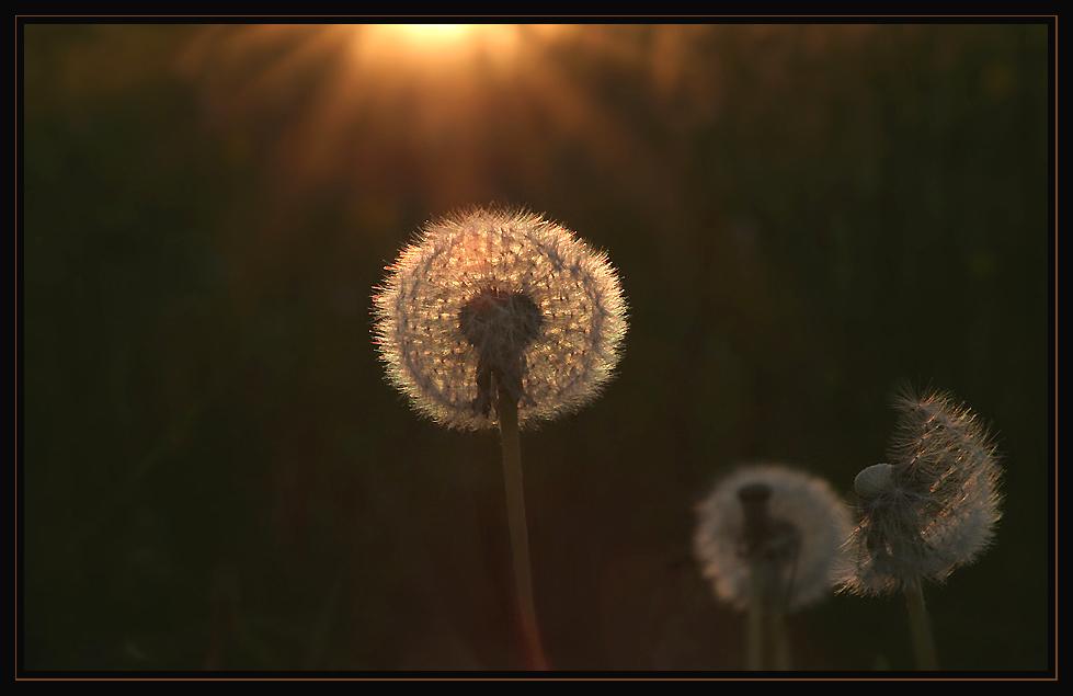 Pusteblume im Abendlicht