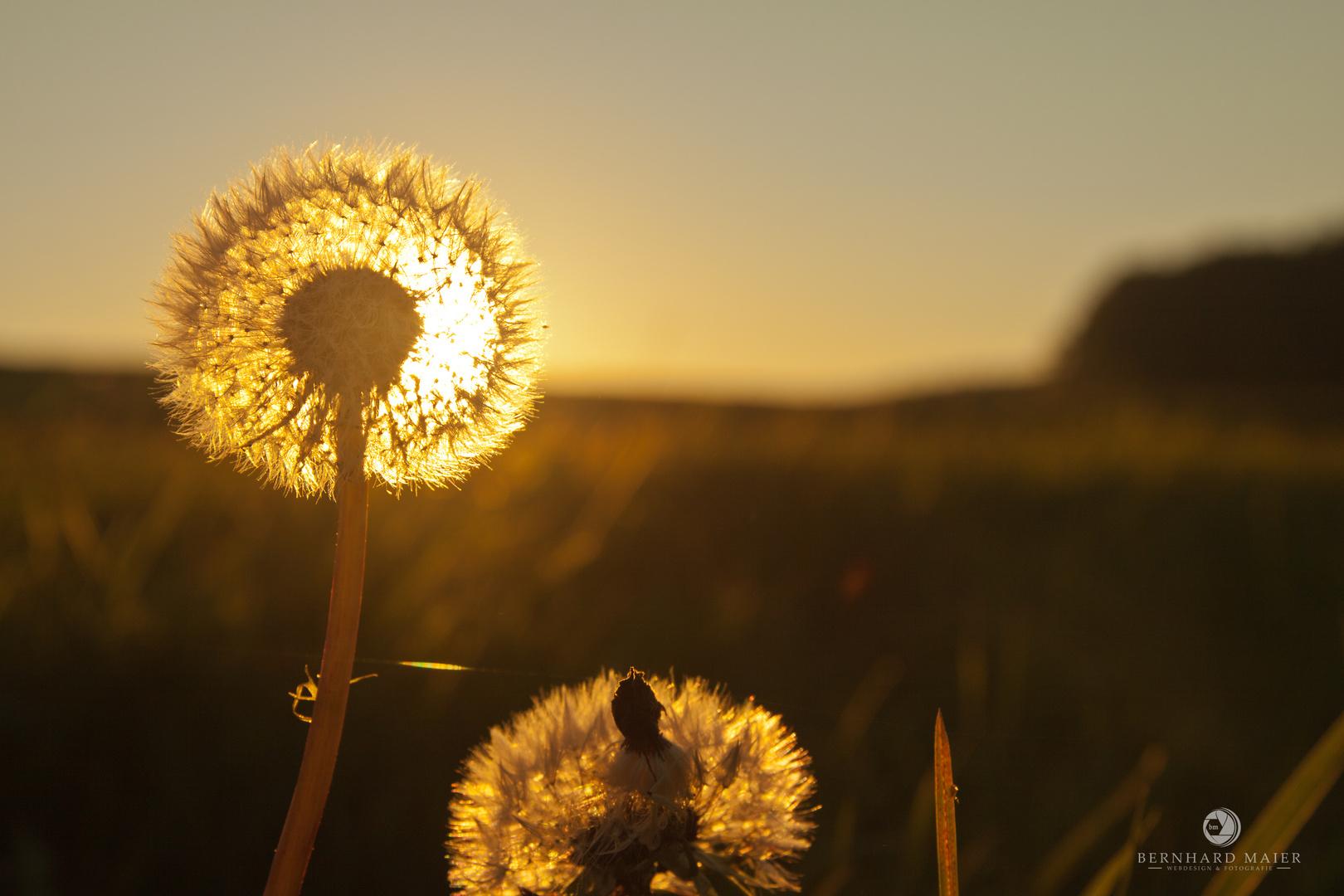 """""""Pusteblume"""" im Herbstlicht"""