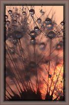 pusteblume im sonnenuntergang