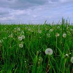 """""""Pusteblumen"""" auf einer Feldwiese, in der Eifel!"""