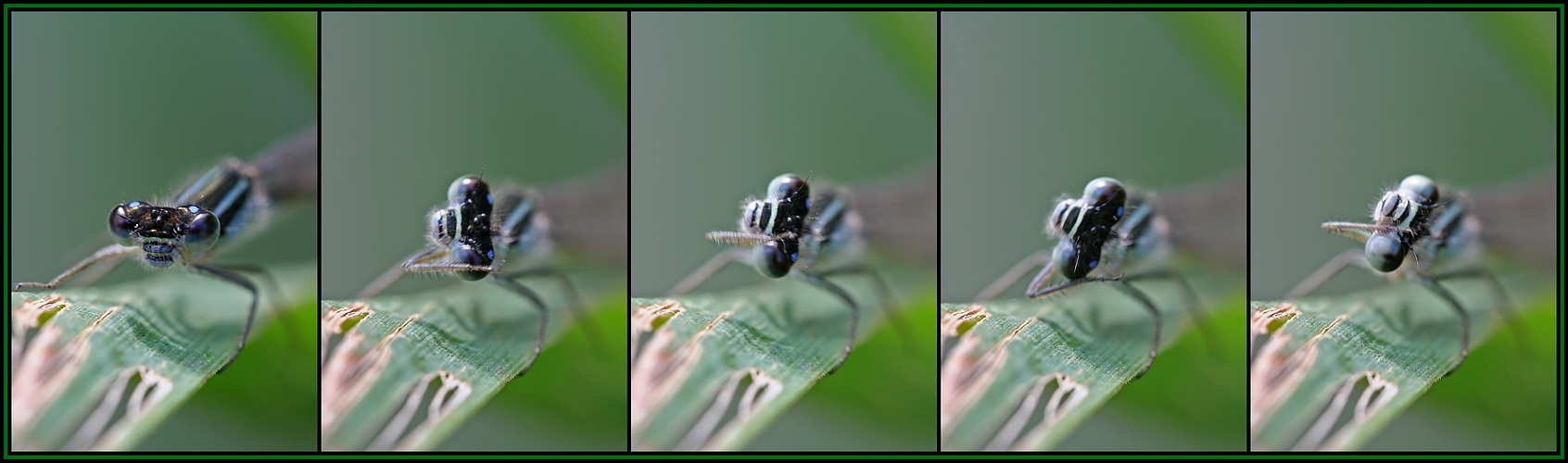 Putzende Libelle