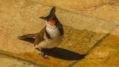 Pycnonotus jocosus - Rotohrbülbül