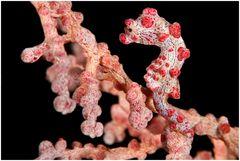 Pygmäenseepferdchen,  Hippocampus bargibanti