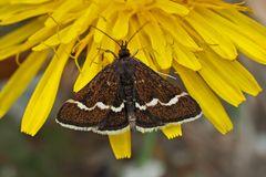 Pyrausta nigrata: ein Zünsler. - L'Ennychie cordelière, un papillon de nuit.