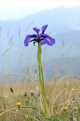 Pyrenäen-Schwertlilie