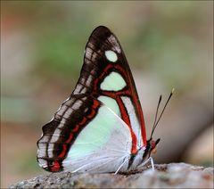 Pyrrhogyra edocla aenaria