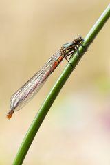 Pyrrhosoma nymphula – frühe Adonislibelle-weiblich