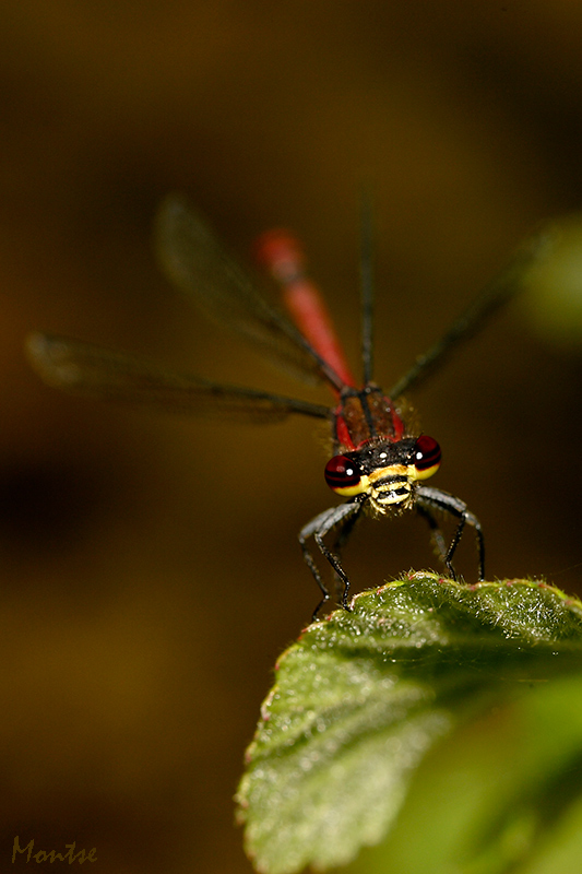 Pyrrhosoma nymphula macho