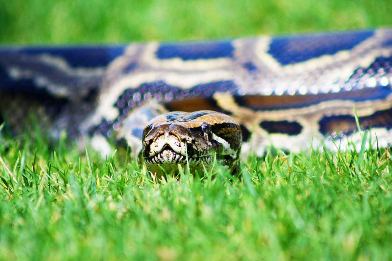 Python im Gras