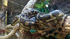 """Python """"Papua Jaguar"""""""