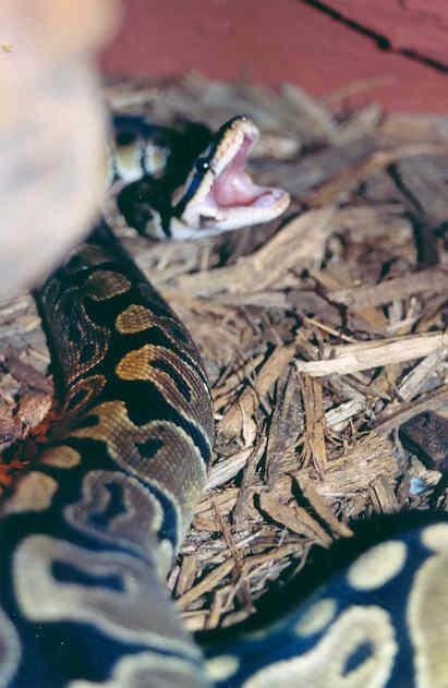 Python regius..