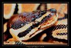 Python regius - Königspython - Ball python