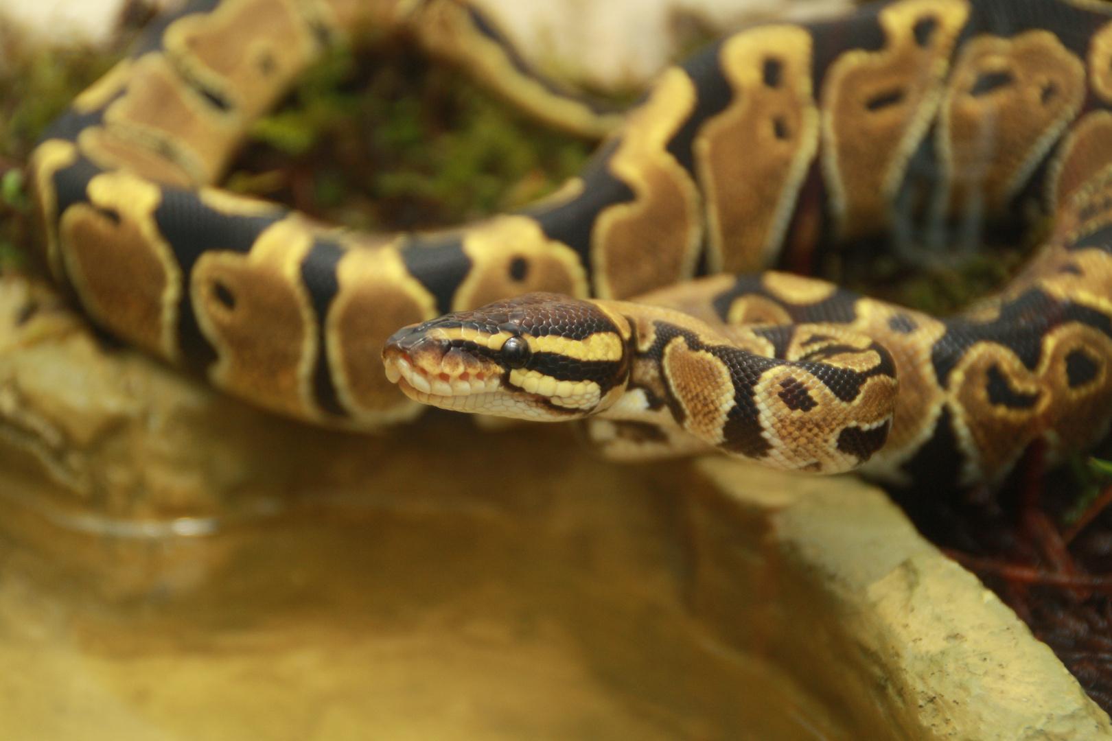 Python Regius Nachwuchs #2