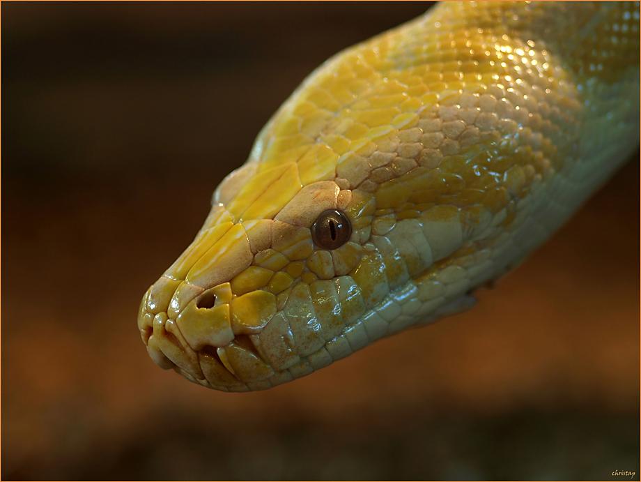 Pythons ...