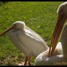 quack puack