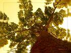 Qual è l'albero vivente più vecchio......