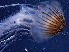 Qualle im Ozeaneum