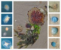 Quallen - Meerestiere die nicht besonders geliebt werden ...