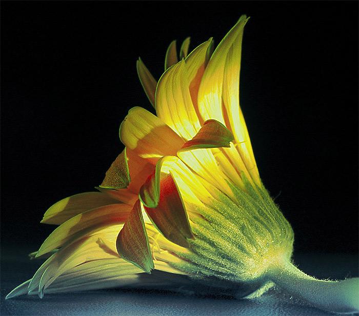 quando un fiore cade